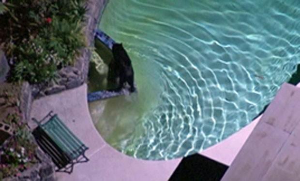 Urso foi flagrado dando mergulho na piscina de uma casa em Granada Hills. (Foto: Reprodução)