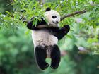 Panda vai se mudar de zoológico de Washington para a China