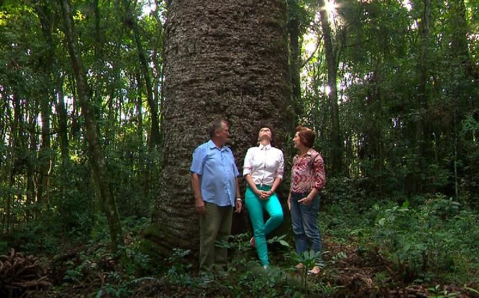 Plug - Araucária, árvore com mais de 500 anos (Foto: Reprodução/ RPC)