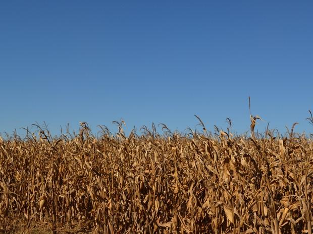 Produção de milho, em Vilhena, RO (Foto: Lauane Sena/G1)