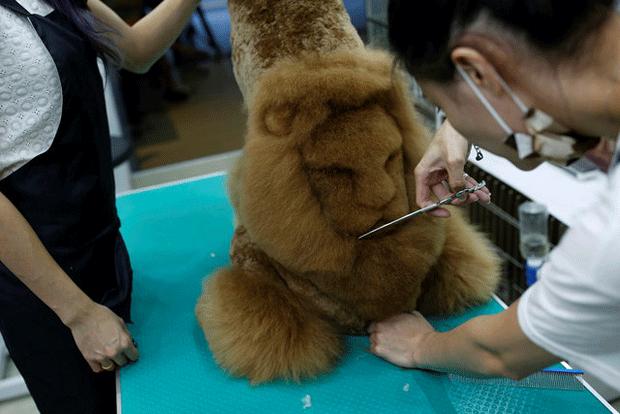 Gato com corte de 'espinha de estegossauro'; quando pelo fica eriçado, ele parece um pequeno dinossauro felino. (Foto: Tyrone Siu/Reuters) (Foto: Tyrone Siu/Reuters)