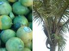 Biodiesel de fruto da Amazônia pode levar luz elétrica a comunidades rurais