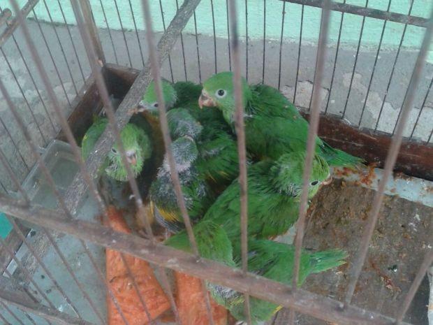 Periquitos estavam engaiolados  (Foto: Polícia Ambiental/ Rondonópolis-MT)