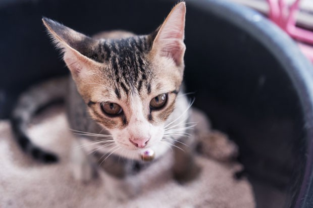 kitten in the litter box, (Foto: Getty Images/iStockphoto)