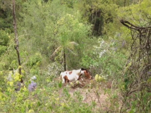 Resgate durou mais de duas horas e animal estava estar perdido (Foto: Reprodução/TV Tem)