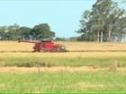 No RS, produção de arroz deve ser  4% maior que a da safra passada
