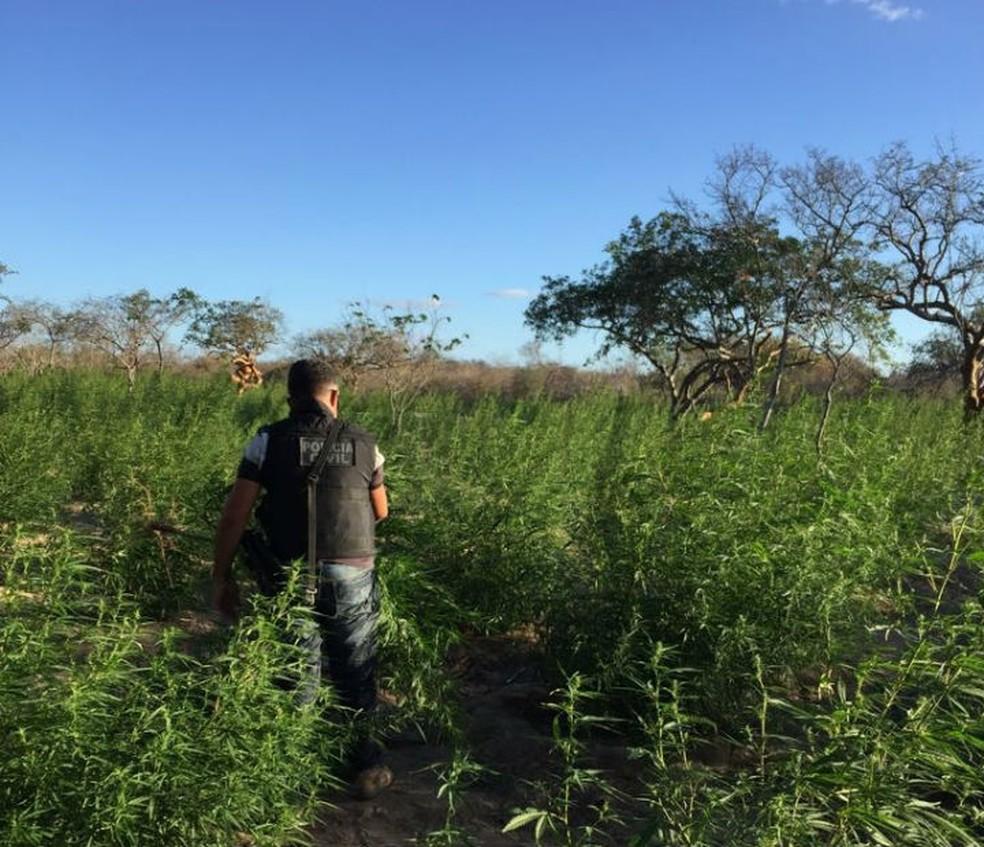 Cerca de 14 mil pés de maconha foram encontrados em Juazeiro e Abaré (Foto: Divulgação/SSP-BA)