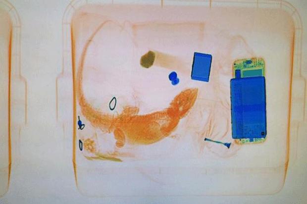 Iguana foi flagrado pelo raio-X (Foto: BoulderCountySheriff/Twitter)