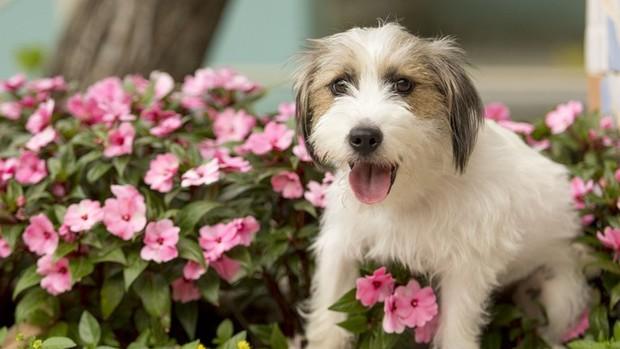 Conheça Tito, o cão que será destaque em Haja Coração (divulgação)