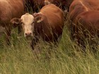 Pecuária ajuda e é ajudada pelo meio ambiente na região do Pampa, RS