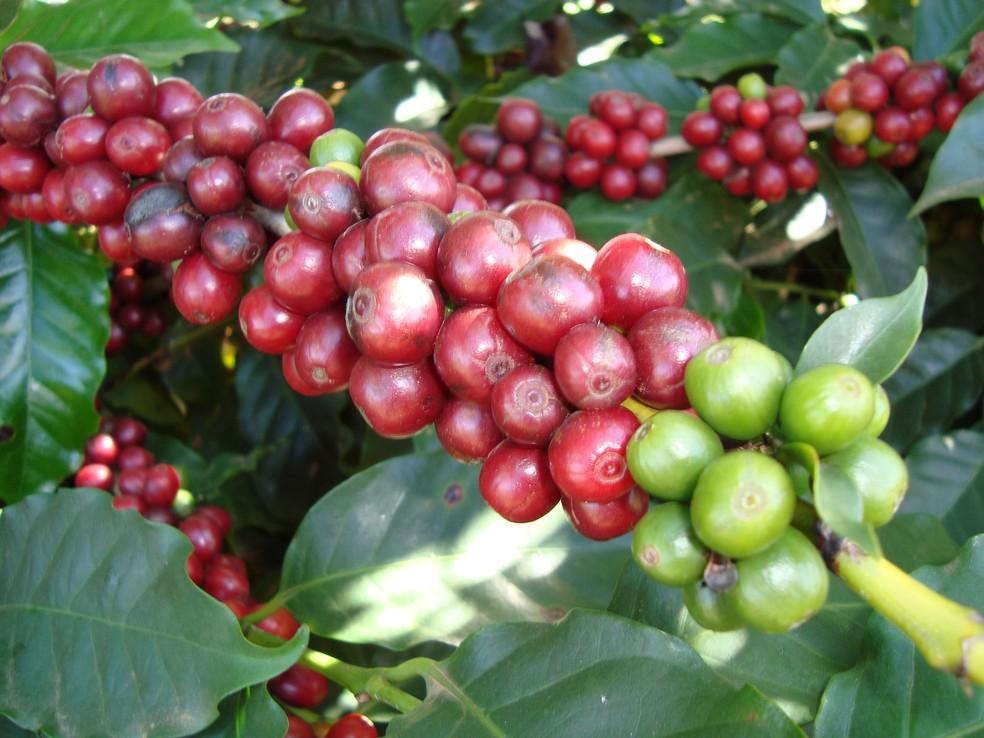 Saca de café custa R$ 410,00 em Ariquemes e R$ 400,00 em Pimenta Bueno (Foto: Luiz Augusto Valeriano)