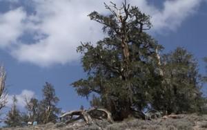 Conheça o pinheiro que existe desde antes de Jesus (Rede Globo)