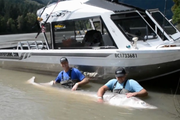 Paul Jarvis e seu pai fisgaram um enorme esturjão branco de 3,5 metros de comprimento e 399 quilos (Foto: Reprodução/YouTube/Great River Fishing Adventures)