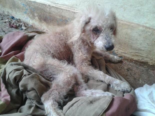 Uma mulher de 32 anos foi presa, nesta sexta-feira (28), por maltratar um cachorro no Bairro Granada, em Uberlândia. A Polícia Militar de Meio Ambiente foi acionada por meio de uma denúncia anônima. Segundo a polícia, a mulher mantinha o animal em casa se (Foto: Polícia Militar de Meio Ambiente/Divulgação)