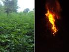 Polícia destrói 5 mil pés de maconha em terreno do governo do Paraná