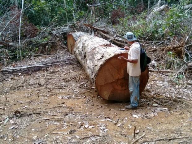 Equipes de fiscalização têm encontrado áreas abertas na mata com toras de madeira extraída ilegalmente da reserva (Foto: Fiscalização/Divulgação)