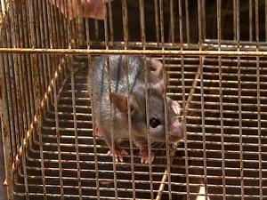Aposentado matém rato em gaiola após mais de 30 invadir sua casa (Foto: Rodrigo Sargaço/EPTV)