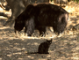Fotos mostram amizade entre gato selvagem e velho urso nos EUA