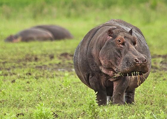 Enquanto dois hipopótamos descansam na relva, o maior deles continua seu ritual, alimentando-se de gramíneas. Parque Nacional Lago Manyara, Tanzânia  (Foto: Haroldo Castro/ÉPOCA)