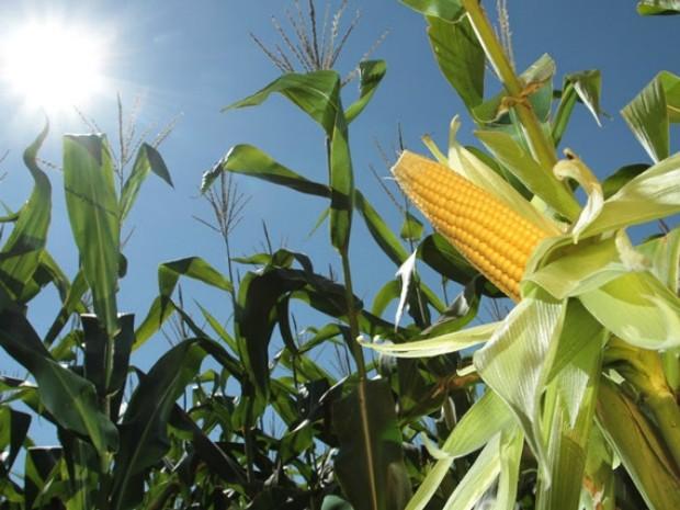 Variações climáticas afetaram a safrinha de milho de MS e produção deve ser menor que a prevista (Foto: Divulgação/Aprosoja/MS)