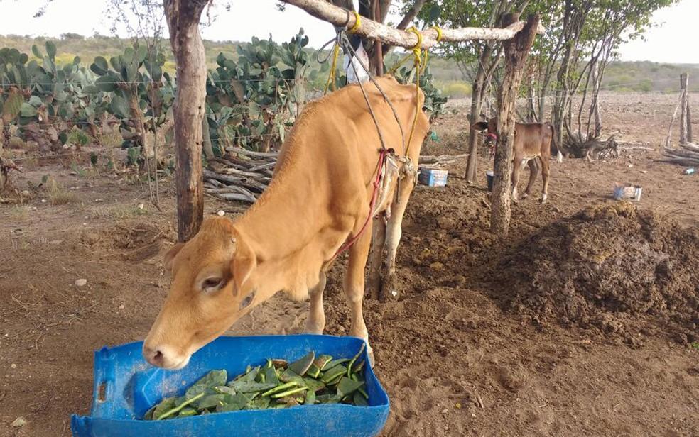 Vaca é sustentada por suporte de madeira com cordas em Itiúba (Foto: José dos Santos/Arquivo pessoal)