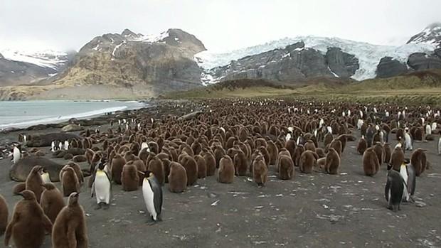Pinguins estão reunidos para emporada de acasalamento na Antártica (Foto: BBC)