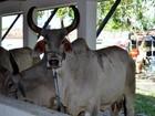 Animais do Pará e Pernambuco chegam para a Festa do Boi, no RN