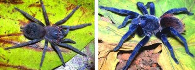tarântula-de-Sazima (Foto: Caroline Fukushima/Rogerio Bertani/Instituto Butantan)
