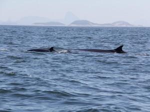 Baleias procuram por alimentos na orla do Rio, diz especialista (Foto: José Laílson / Divulgação)