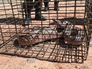 Animal será encaminhado para Centro de Triagem de Animais Silvestres e ficará em quarentena. (Foto: Walter Paparazzo/G1)