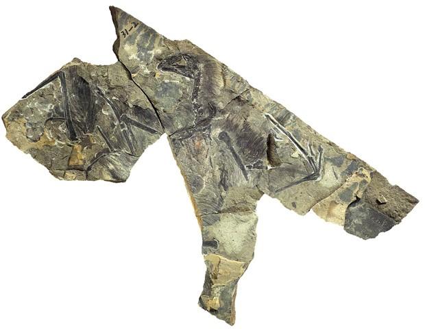 Minidinossauro com asas de morcego é descoberto na China http://cantinhojutavares.com