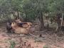 Terra da Gente mostra ataque de leões a búfalo na África do Sul