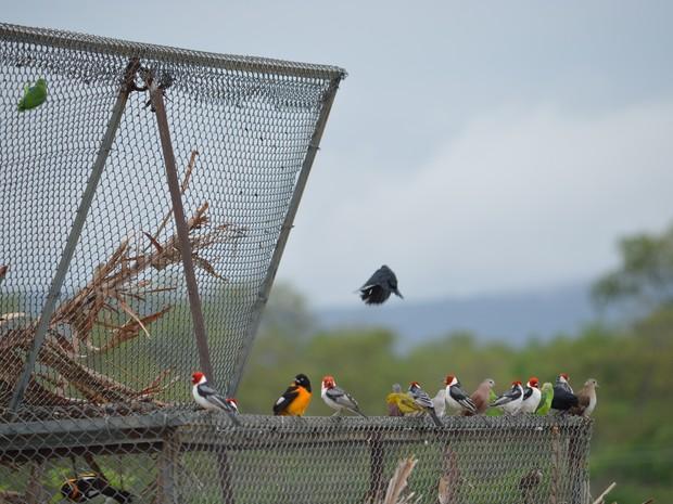 Soltura das aves em Salgueiro, PE (Foto: Divulgação/CPRH)