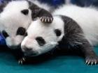 Como a China conseguiu salvar os pandas gigantes da extinção