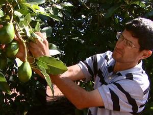 Calor excessivo e falta de chuva afeta produção de abacates (Foto: Eder Ribeiro/EPTV)