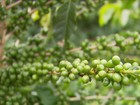 Tempo chuvoso beneficia plantações de café em MG