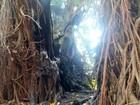 Tronco de Seringueira de Piracicaba é queimado e árvore pode ser cortada