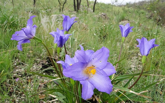 Flor do cerrado: o ecossistema tem mais de 4 mil espécies endêmicas (Foto: Marcos Cesar Campis/ Wikimedia)