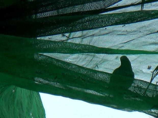 Periquitos costumam ficar presos em telas de palmeiras (Foto: Reprodução/TV Amazonas)
