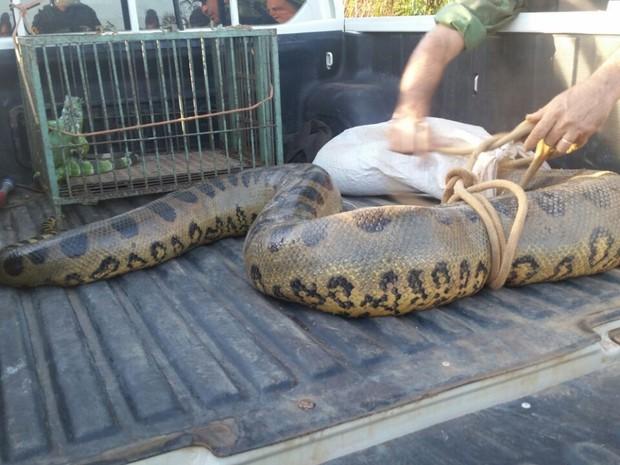Sucuri de cinco metros encontrada em Porto Velho (Foto: Fabiano Coutinho/News Rondônia)