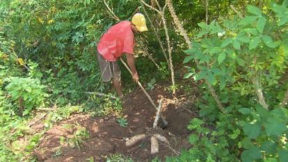 Agricultores cultivam mandioca em Almenara