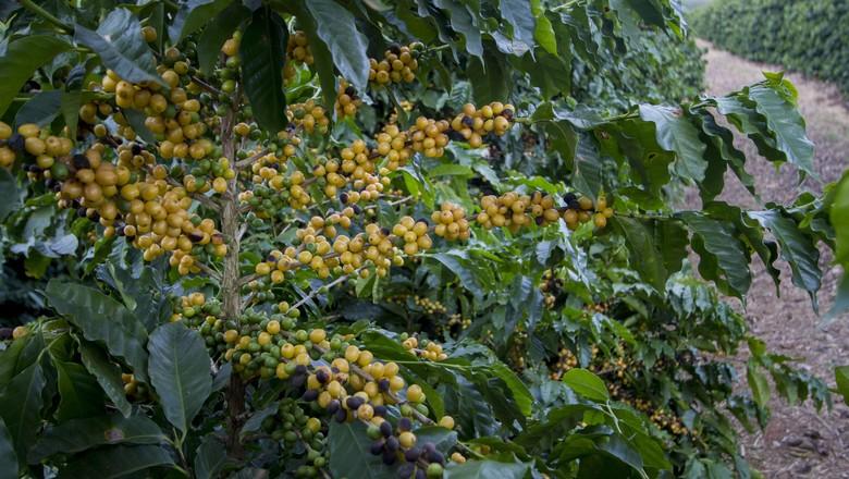 café_grãos_plantação (Foto: Rogerio Albuquerque / Editora Globo)