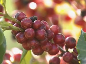 Apenas 20% do total de café colhido será aproveitado.  (Foto: Reprodução/EPTV)