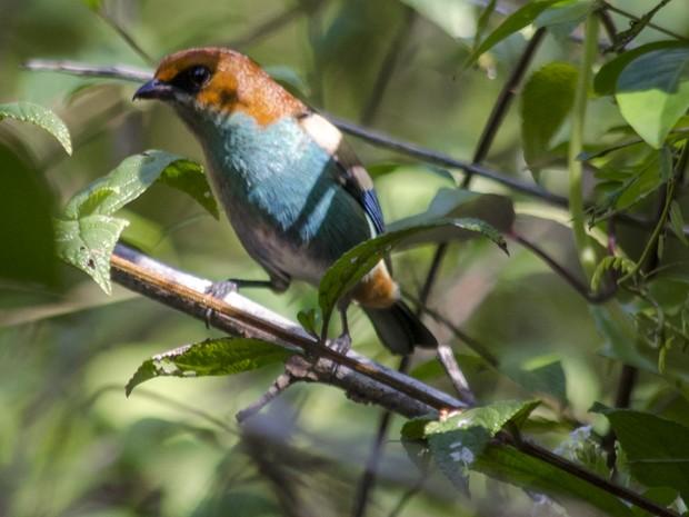Ave rara foi avistada em área de restinga (Foto: Lousival Loureiro / Fibria)