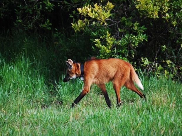Lobo-guará na Serra da Canastra (Foto: Joarez May/Divulgação)