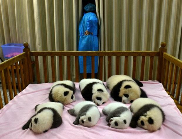 Filhotes de pandas nascidos em centro de pesquisa de Chengdu (Foto: AP)