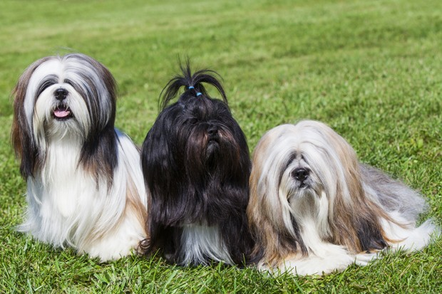Portrait of three purebred Lhasa Apso  on green grass (Foto: Getty Images/iStockphoto)
