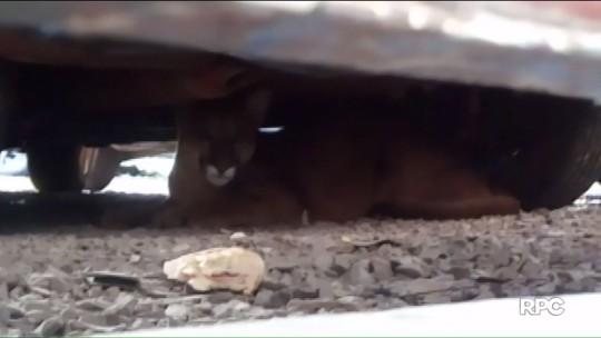 Onça-parda é encontrada embaixo de carro em oficina mecânica no norte do Paraná