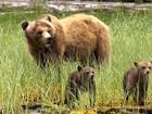 Equipe do Globo Repórter fica diante da mais perigosa espécie de urso