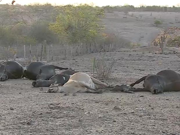 Animal foi levado para a UFRPE, em Garanhuns, para ser examinado (Foto: Reprodução/TV Asa Branca)
